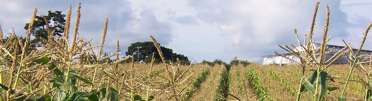 Hampshire Web Designer Gethyn Jones - photo of corn field